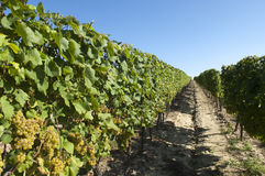 Wine grapes in harvest season Royalty Free Stock Photos