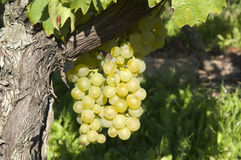 Wine grapes in harvest season Stock Images
