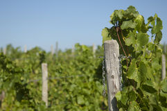 Wine grapes in harvest season Stock Photos