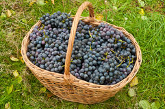 Free Wine Grapes In Basket Stock Photos - 43989853