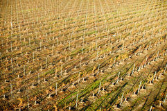 Wine Grape plantation Royalty Free Stock Images