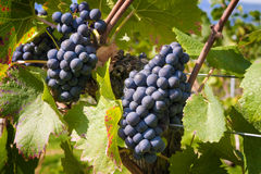 Wine grapes Lake Constance Stock Image