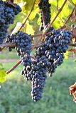 Wine grapes multiple Stock Photography