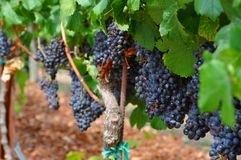 Wine grapes from Napa Valley, California Royalty Free Stock Image