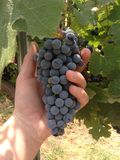 Wine grapes. A photo of wine grapes ready to be picked Royalty Free Stock Photography