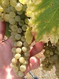 Wine grapes. A photo of wine grapes ready to be picked Royalty Free Stock Photos