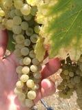 Wine grapes Royalty Free Stock Photos