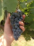 Wine grapes Stock Images