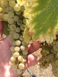 Wine grapes. A photo of wine grapes ready to be picked Stock Photo