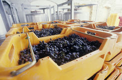 Wine grapes ready for crushing Yarra Valley Victoria Australia Stock Photo