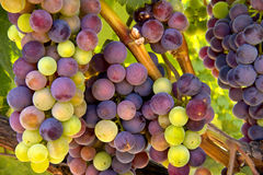 Wine Grapes ready for Harvest Royalty Free Stock Images