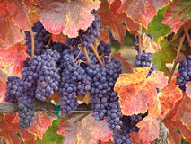Wine Grapes ready for Harvest Royalty Free Stock Photo