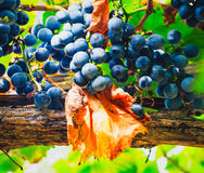 Wine grapes. Red wine grapes hang from an old vine Stock Photo