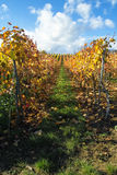 Wine grapes rows. Rows of wine grapes, Germany Stock Photography