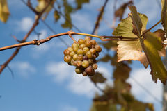 Wine grapes shrivel on vine Stock Image