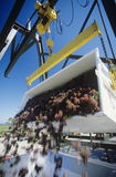 Wine grapes unloading into crusherYarra Valley Victoria Australia Stock Photos