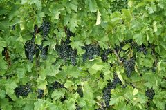Wine Grapes on the Vine. Grapes on the vine in the Niagara region of Ontario, Canada royalty free stock images