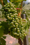 Wine grapes on the vine Royalty Free Stock Image
