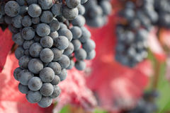 Wine grapes on the vine in autumn Royalty Free Stock Photography