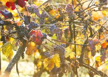 Wine grapes on a vine branch Stock Photos