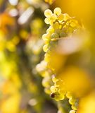 Wine grapes on a vine branch Royalty Free Stock Image