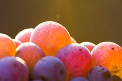 Wine grapes on a vine branch Stock Photo