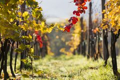 Wine grapes on a vine branch Stock Image