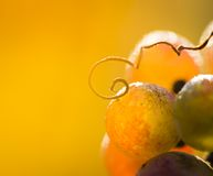 Wine grapes on a vine branch Royalty Free Stock Photos