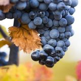 Wine grapes on a vine branch Royalty Free Stock Photo