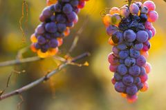 Wine grapes on a vine branch Royalty Free Stock Images