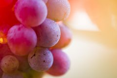 Wine grapes on a vine branch Stock Images