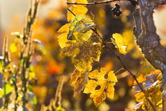 Wine grapes on a vine branch Royalty Free Stock Photography