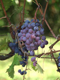 Wine grapes on the vine. Close-up of bunches of red wine grapes on the vine Royalty Free Stock Image