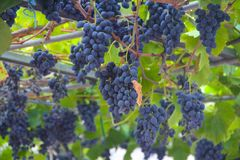 Wine grapes on vine. Close-up of bunches of ripe red wine grapes on vine Royalty Free Stock Photo