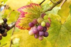 Wine Grapes on Vine Closeup Stock Photos