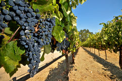 Wine grapes on the vine in a field Stock Images