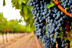 Wine grapes on the vine in a field Royalty Free Stock Image