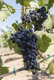 Wine grapes on the vine Stock Photos