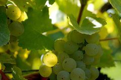 Ripe grapes on a vine with bright sun shining through the green grape leaves. Healthy fruits green wine grapes background. stock photography