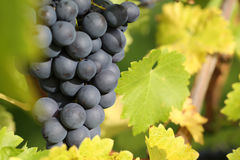 Wine grapes on the vine Royalty Free Stock Photo