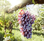 Wine grapes on the vine in the sunlights. royalty free stock photo