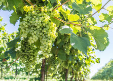 Wine grapes on the vine. Royalty Free Stock Photo