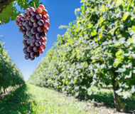 Wine grapes on the vine. Sunny vineyard on the background stock image