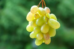 Wine grapes on the vine. Sunny vineyard on the background royalty free stock image