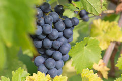 Wine grapes on the vine in the vineyards Royalty Free Stock Photos