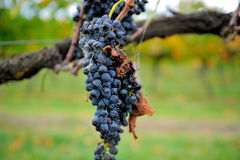 Wine grapes on vine in Yarra Valley Royalty Free Stock Images