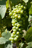 Wine grapes in vineyard Royalty Free Stock Photo