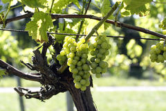 Wine grapes in vineyard. Wine grapes growing in vineyard with guide wire Royalty Free Stock Image