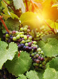Wine grapes in vineyard Stock Images