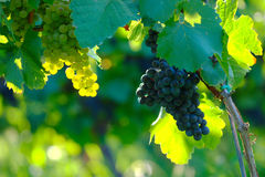 Wine Grapes In Vineyard, Maribor, Slovenia. Ripening yellow and blue wine grapes on vine in vineyard in sunny summer morning on Kalvarija hill, Maribor, Slovenia Stock Image